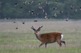 Sika Stag and Starlings