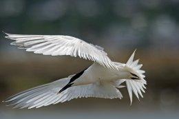 Sandwich Tern 5
