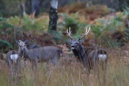 Rutting Sika Stag
