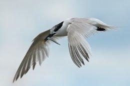 Sandwich Tern 8
