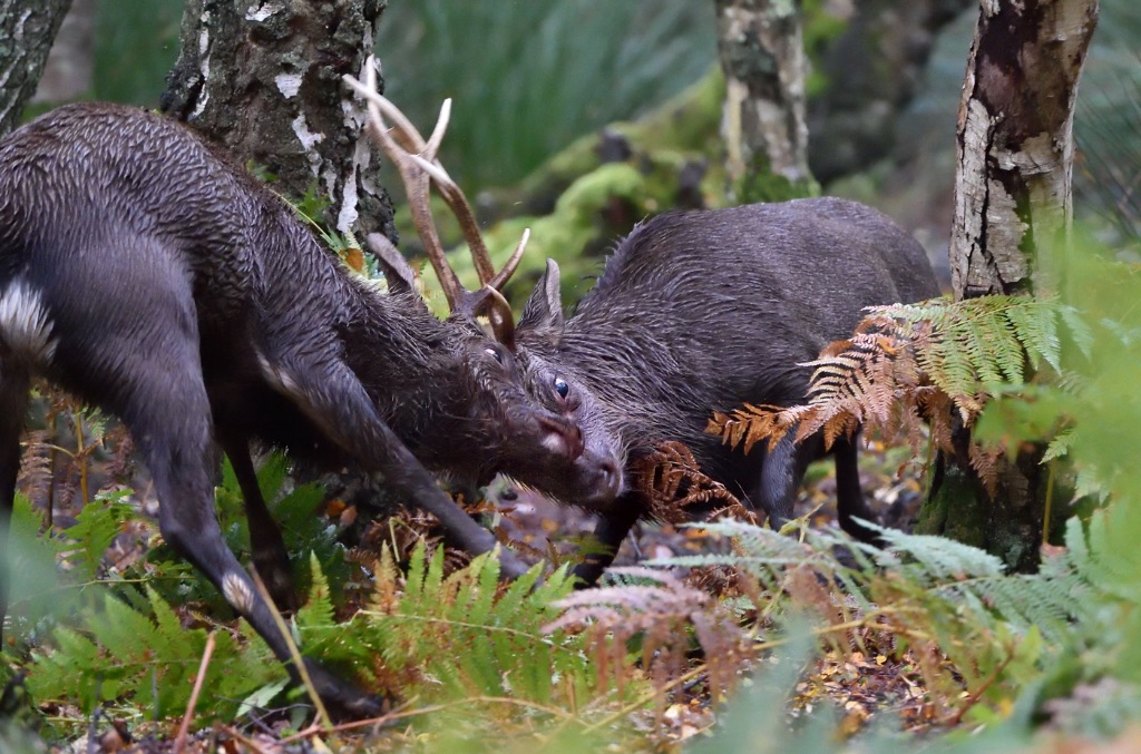 Fighting Sika Stags