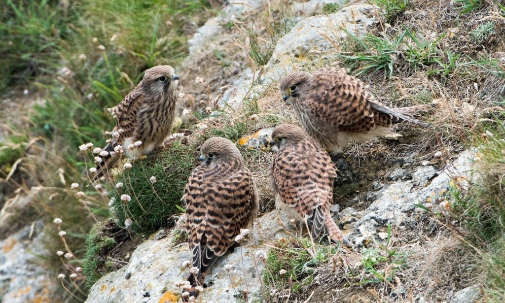 Juvenile Kestrels with Female 2