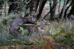 Rutting Sika Deer