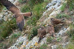 Juvenile Kestrels with Female 3