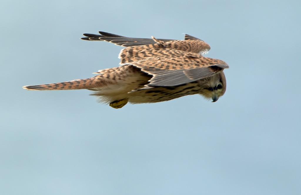 Hovering Female Kestrel 1