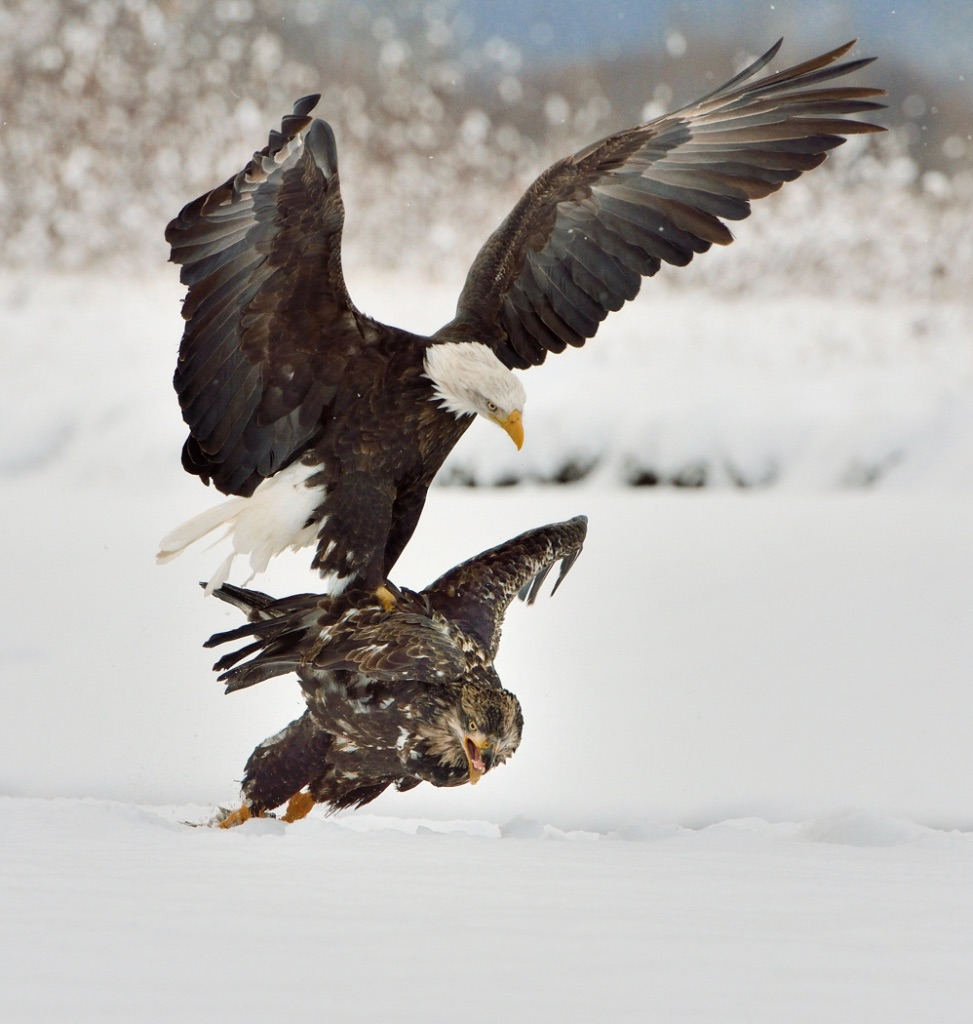 Adult Bald Eagle Attacking Juvenile