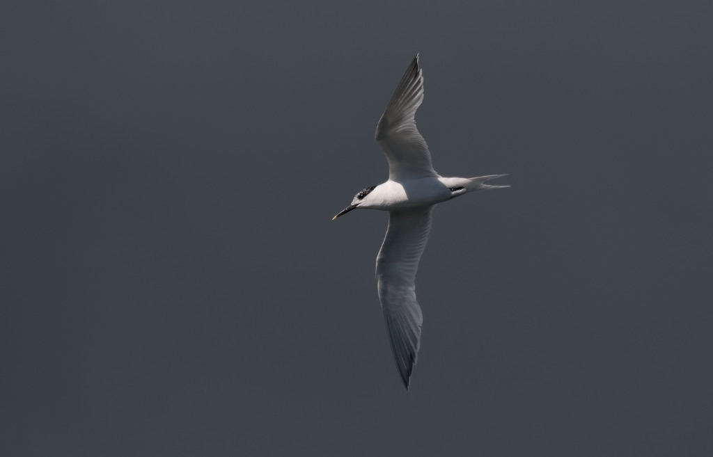 Sandwich Tern 9