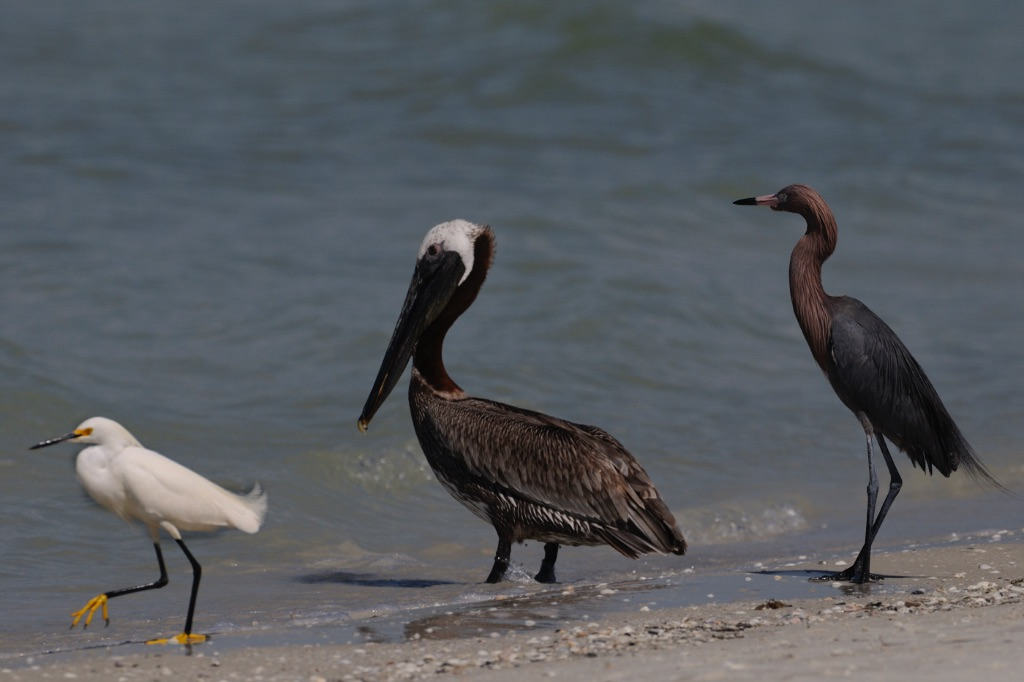 Egret Brown Pelican Tried-cpoured Heron