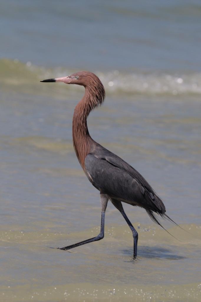 Tri-cloured Heron 1