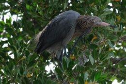 Tri-coloured Heron 3