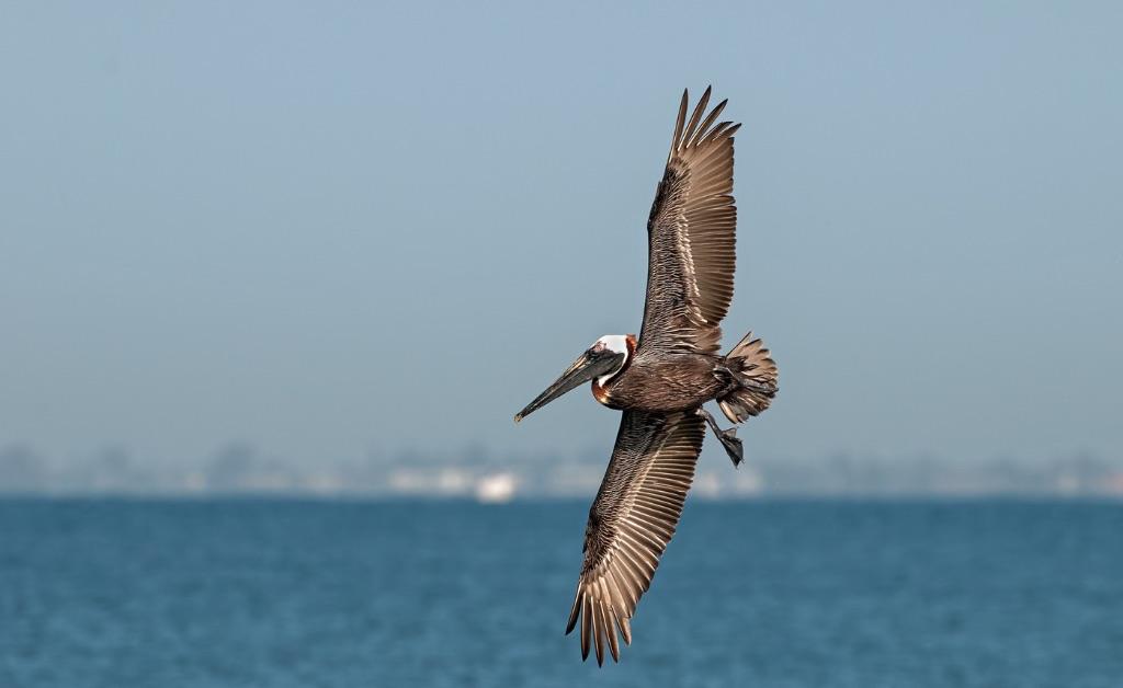 Brown Pelican 8