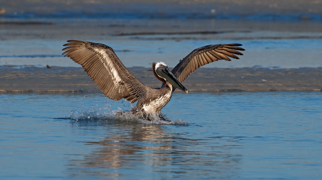 Brown Pelican 10
