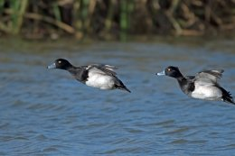 2 Tufted Ducks