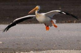 White Pelican 3