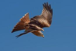 Red Kite 8
