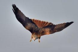 Red Kite 10