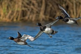 3 Tufted Ducks
