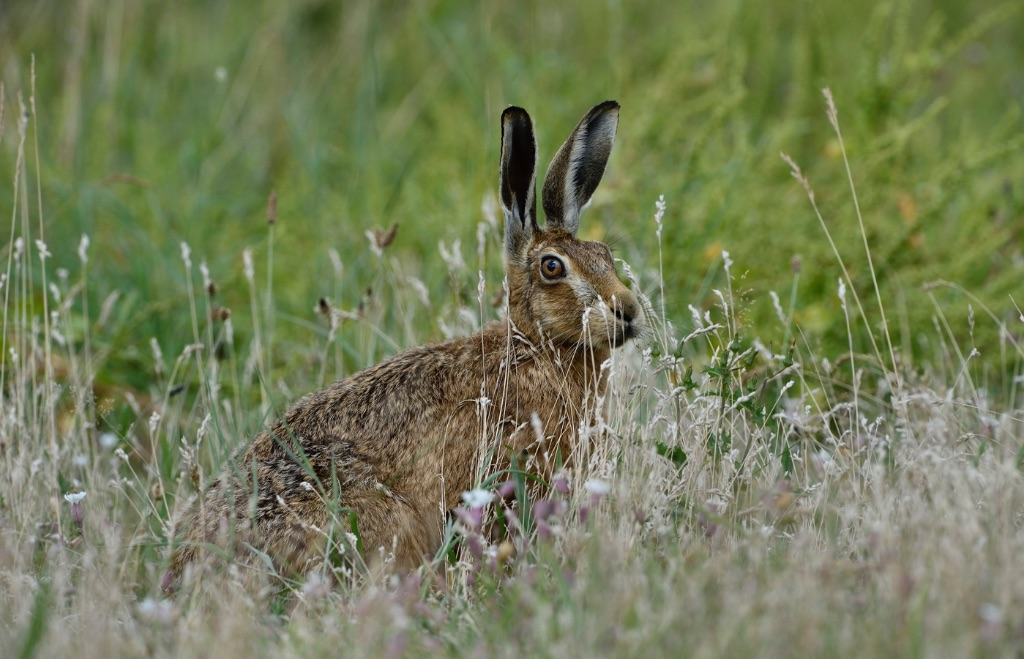 Brown Hare