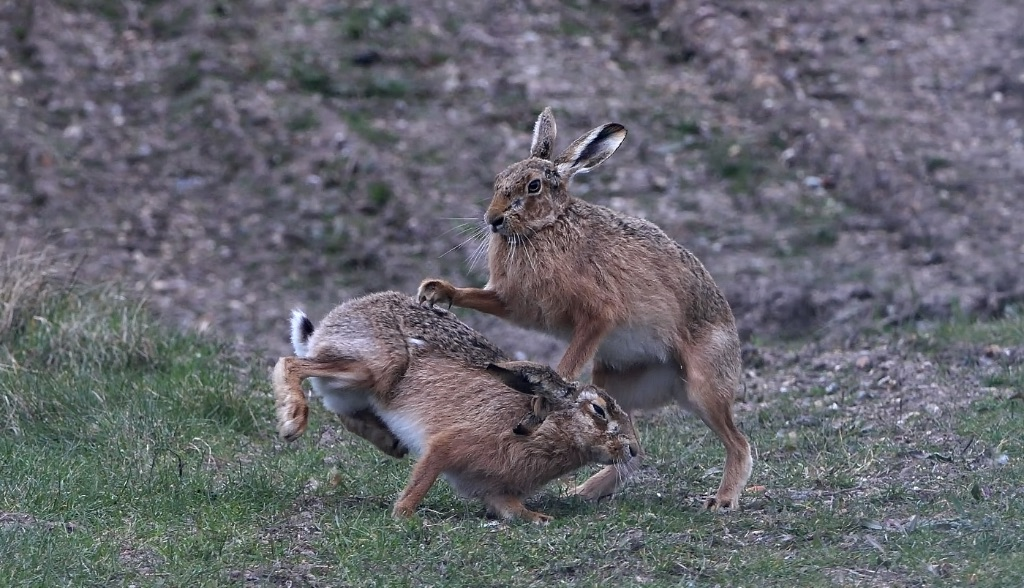 Male Brown Hares