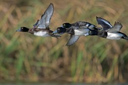 4 Tufted Ducks