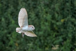 Barn Owl with Bank Vole