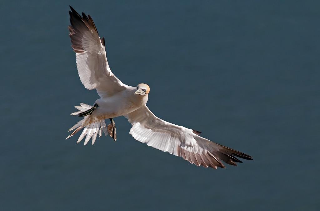 Gannet 5