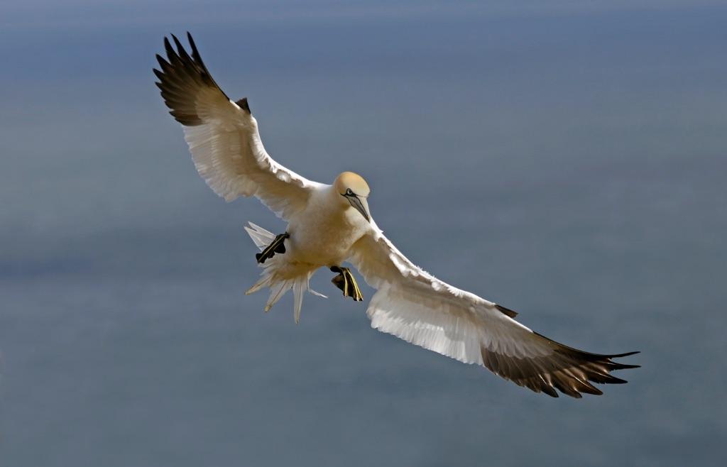Gannet 7