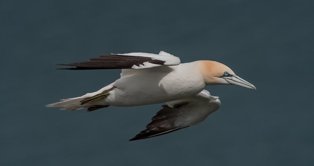 Gannet 9