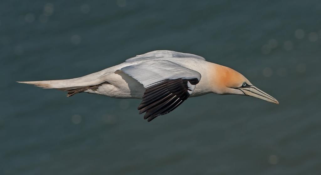 Gannet 11