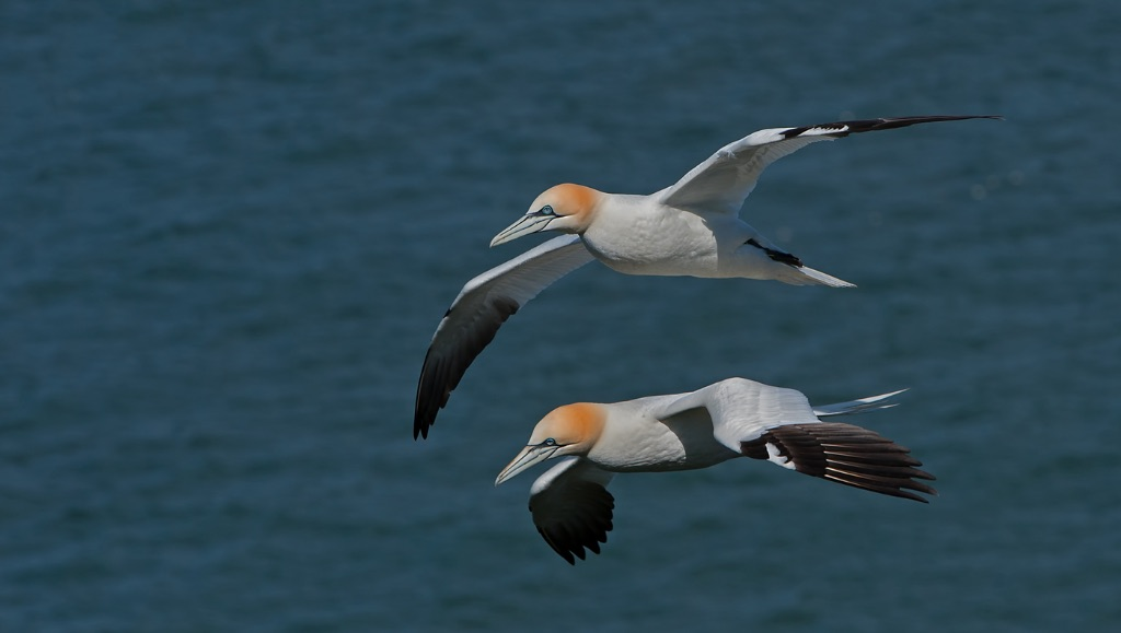 Gannets 15