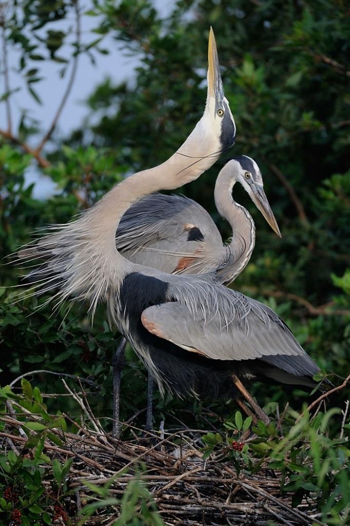 Grea Blue Heron