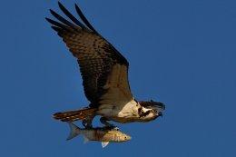 Osprey 7