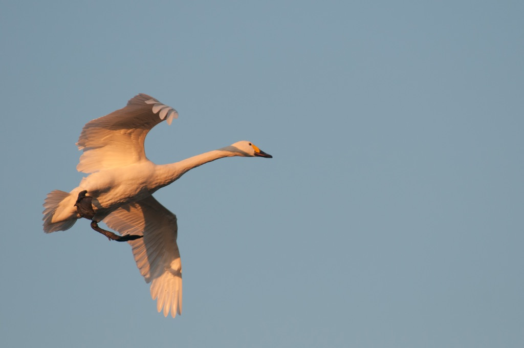 Bewick's Swan 2