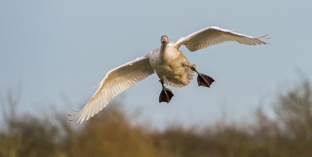 Bewick's Swan 3