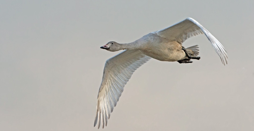 Bewick's Swan 4