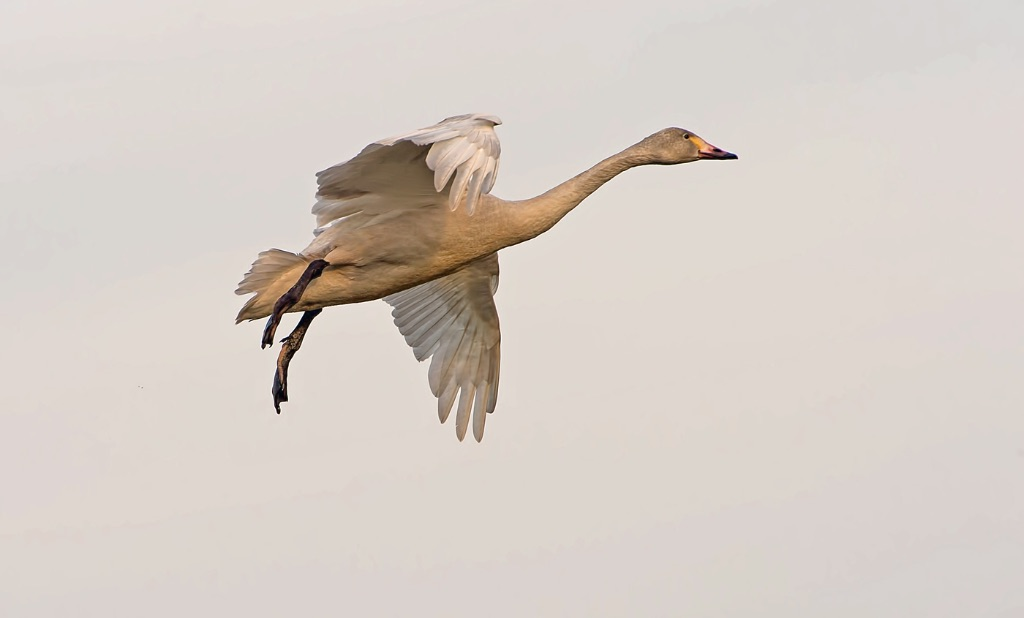 Bewick's Swan 5