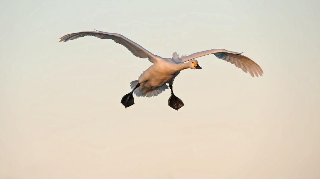 Bewick's Swan 6