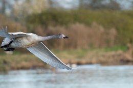 Bewick's Swan 7