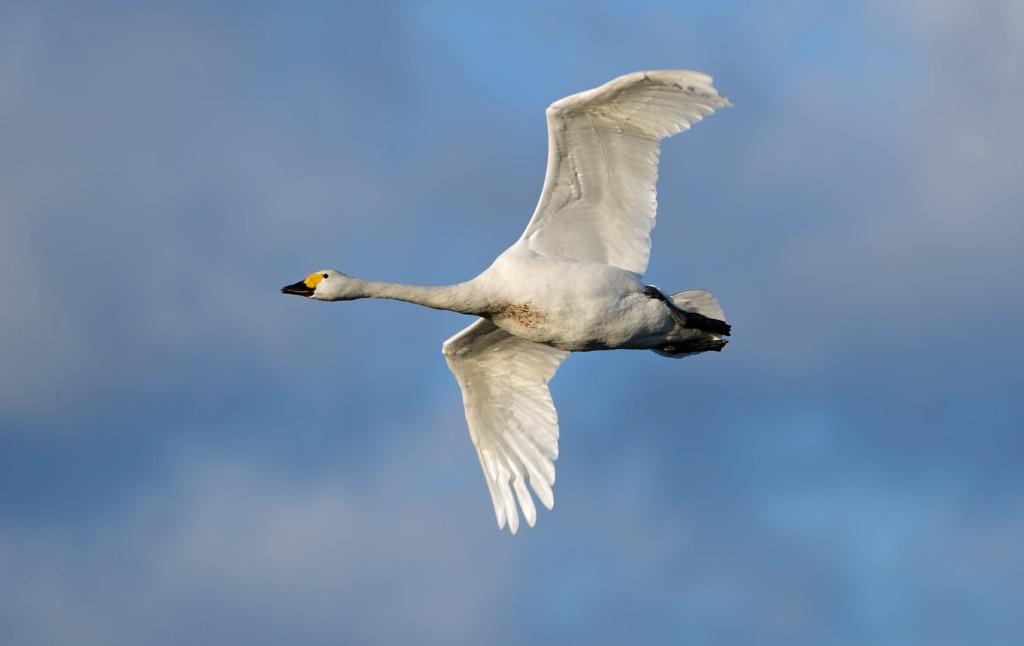 Bewick's Swan 8