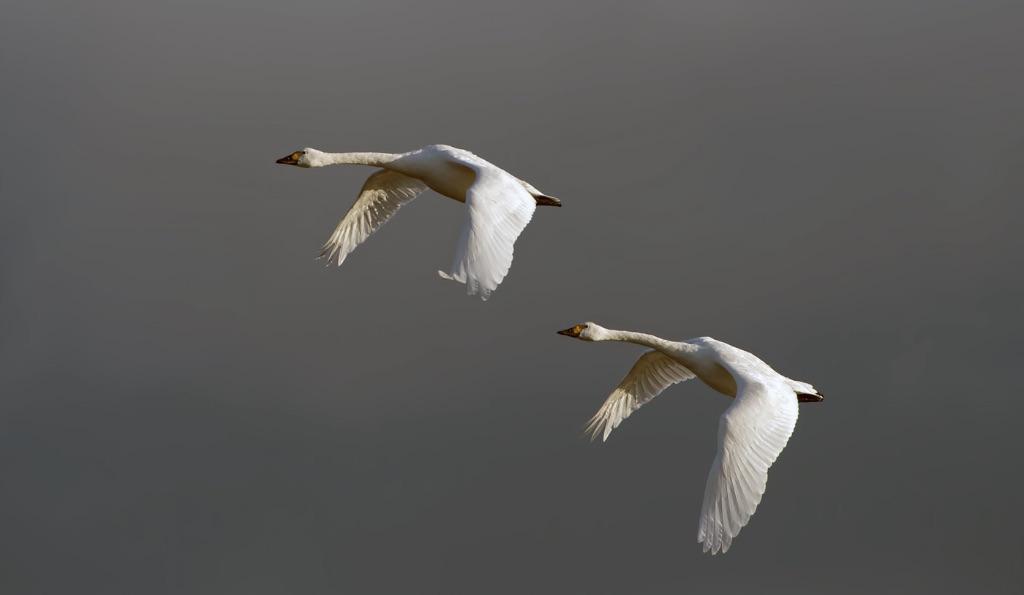 Bewick's Swans 9