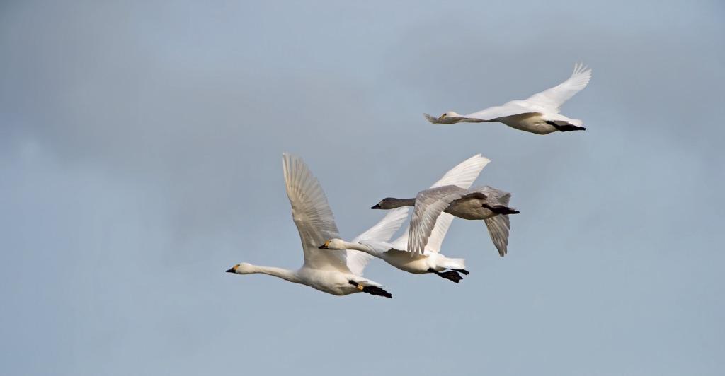 Bewick's Swans 10