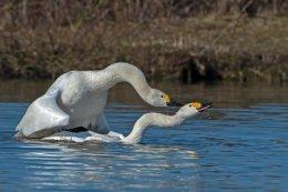 Bewick's Swans 11