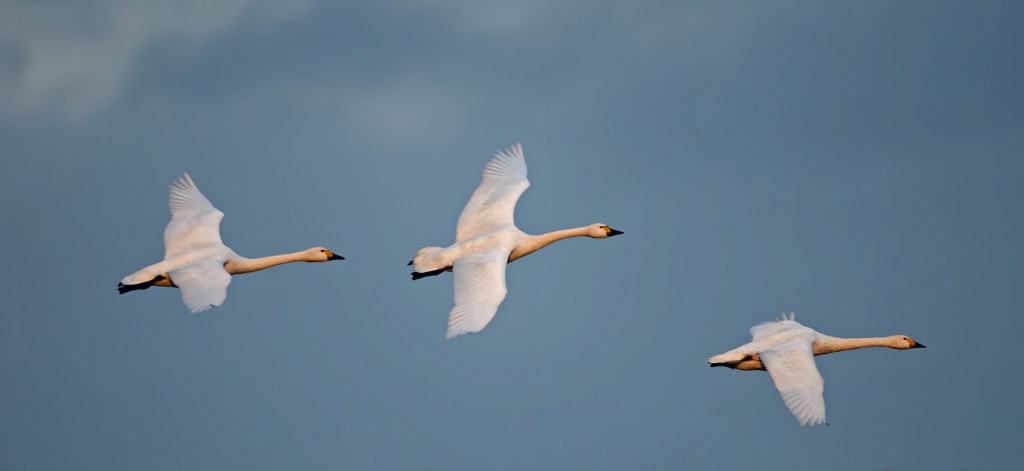 Bewick's Swans 12