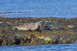 Common Seals 1