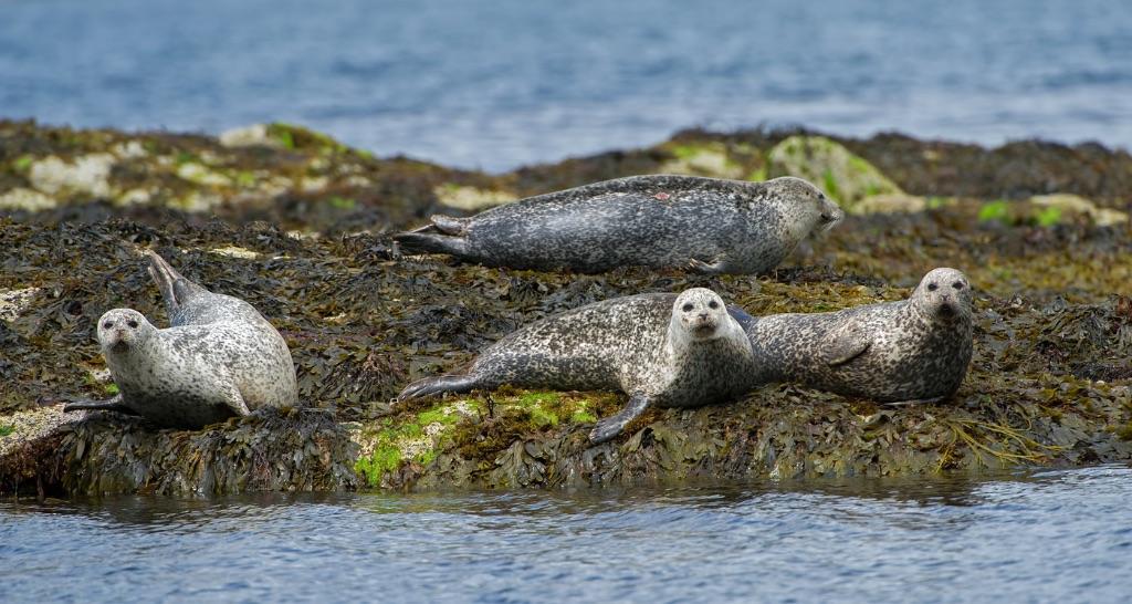 Common Seals 2