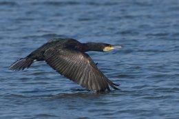 Cormorant 4