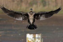 Cormorant 10