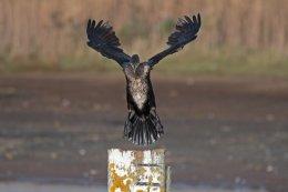 Cormorant 9