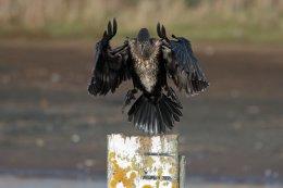 Cormorant 13