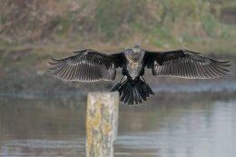 Cormorant 11